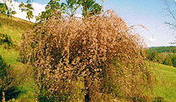 Weeping tree Caseade Nursery Batlow